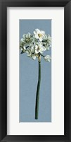 Framed Chinese Sacred Lily