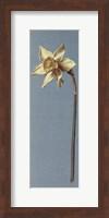 Framed Trumpet Narcissus