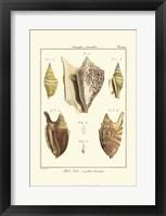 Framed Strombe Shells, Pl. 409