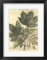 Framed Weathered Maple Leaves II