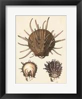 Framed Antique Diderot Shells I