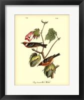 Framed Bay Breasted Wood-Warbler
