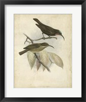 Framed Antique Gould Hummingbird I