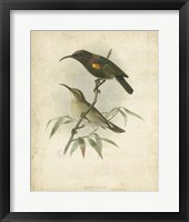 Framed Antique Gould Hummingbird II