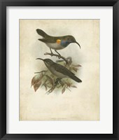 Framed Antique Gould Hummingbird III
