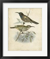 Framed Antique Gould Hummingbird IV