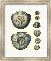 Framed Antique Blue Sanddollar