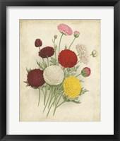 Framed Ranunculus Florilegium II