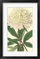 Framed Chinese Peony