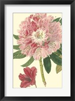 Framed Pink Rhododendron