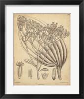 Framed Vintage Curtis Botanical VI