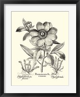 Framed Black and White Besler Peony I