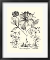 Framed Black and White Besler Peony II