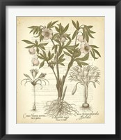 Framed Tinted Besler Botanical I