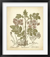 Framed Tinted Besler Botanical III