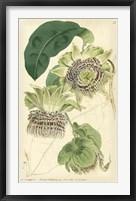 Framed Antique Passionflower II