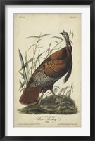 Framed Audubon Wild Turkey