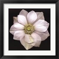 Framed Garden Anemone