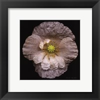 Framed White Poppy