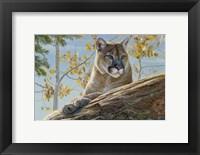 Framed Front Range Cougar