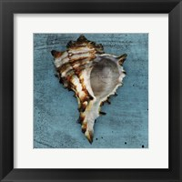 Framed Horned Whelk