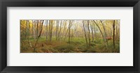 Framed Birch Forest Panorama