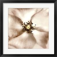 Whisper of Rose Framed Print