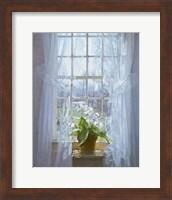 Framed Cape Primrose (small)