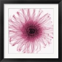 Framed Dahlia (Raspberry)