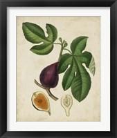 Framed Non-Embellished Antique Fig Tree