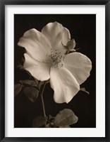 Framed Rose Bud