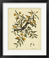 Framed Cates. Black-capt Flycatch. Pl. T53