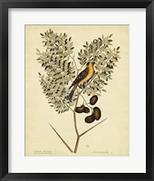 Framed American Goldfinch, Pl. T43