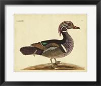 Framed Summer Duck, Pl. T97