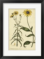 Framed Rudbeckia and Coreopsis, Pl. CCXXIV