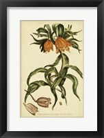 Framed Corona Imperalis, Pl. CV