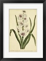 Framed Hyacinthus, Pl. CXLVIII