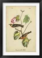Framed Audubon Bay Breasted Warbler