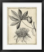 Framed Passiflora II