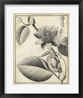 Framed Passiflora IV