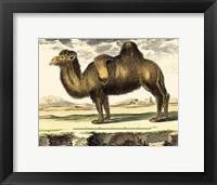 Framed Camel
