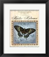 Papilio Blumei Framed Print