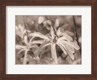 Framed Star Magnolias I