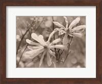 Framed Star Magnolias II