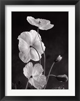 Framed Iceland Poppies I