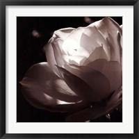 Framed White Rose II