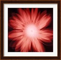 Framed Radiant Gerbera