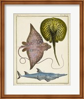 Framed Antique Rays & Fish II