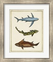 Framed Antique Rays & Fish III