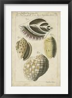 Framed Vintage Shell Study I